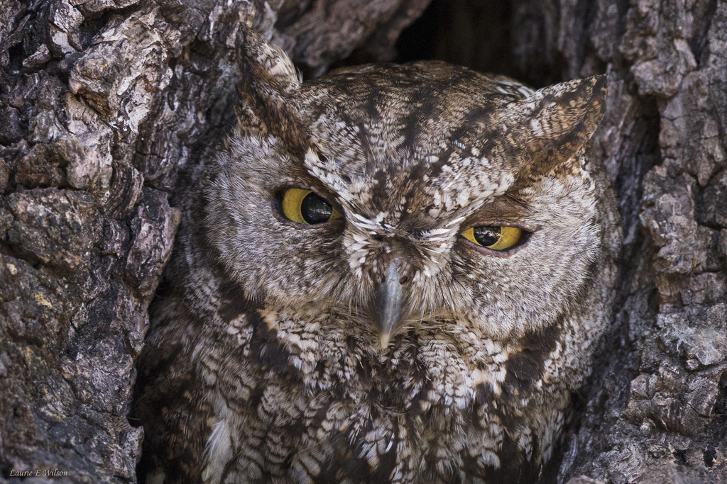 Western Screech Owl Looking Out of  Nest Hole by laurieewilson