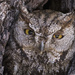 Western Screech Owl Looking Out of  Nest Hole
