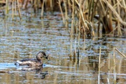 16th Jan 2020 - Littler Grebe with catch