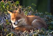19th Jan 2020 - A fox on the 'edge