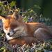 A fox on the 'edge by peadar