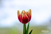 19th Jan 2020 - Tulip