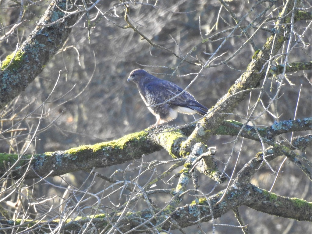 Faraway Buzzard at Hergest Croft by susiemc