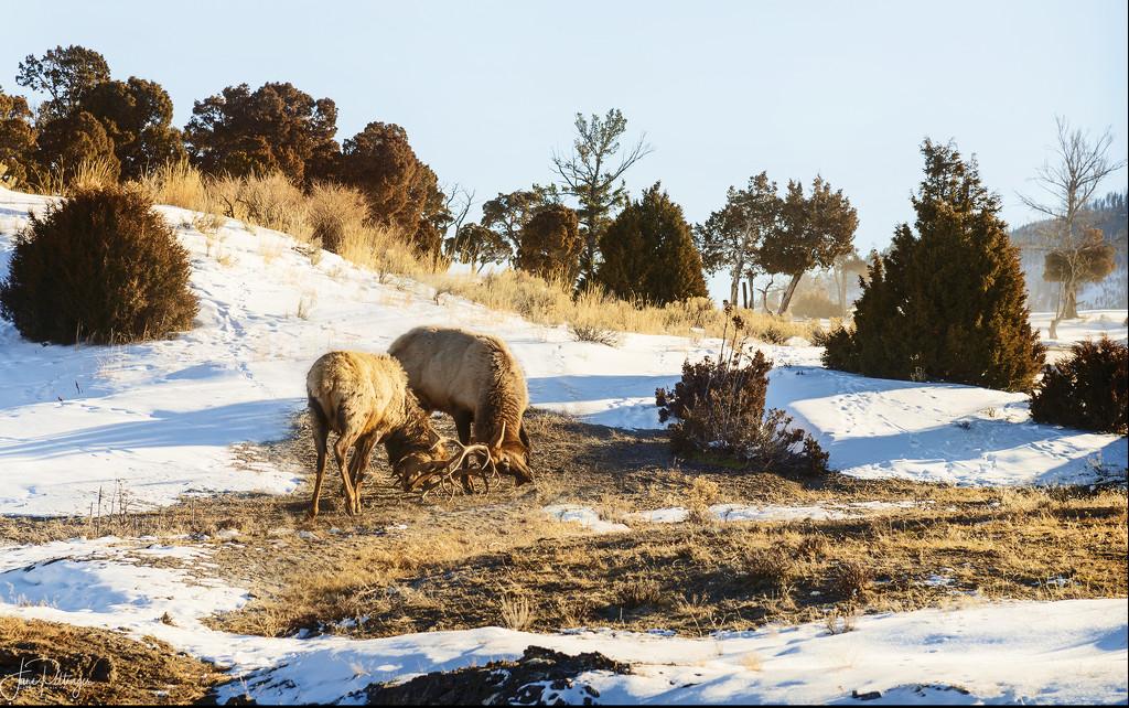 Roosevelt Elk Tussle by jgpittenger