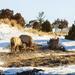 Roosevelt Elk Tussle
