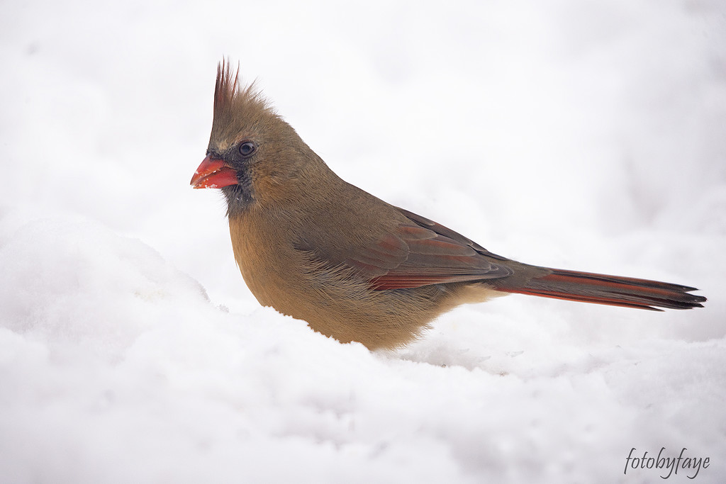 Cardinal in the snow by fayefaye