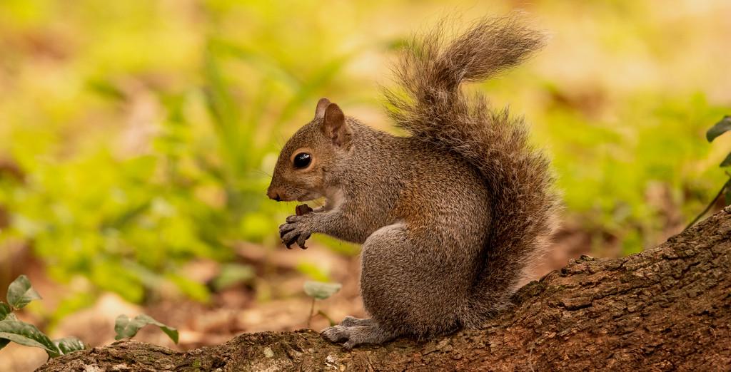 Bushy Tail Having a Snack! by rickster549