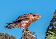 20th Jan 2020 - Lanner Falcon