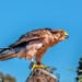 Lanner Falcon  by ludwigsdiana