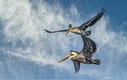 19th Jan 2020 - Pelican Buddies in Flight