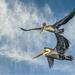 Pelican Buddies in Flight