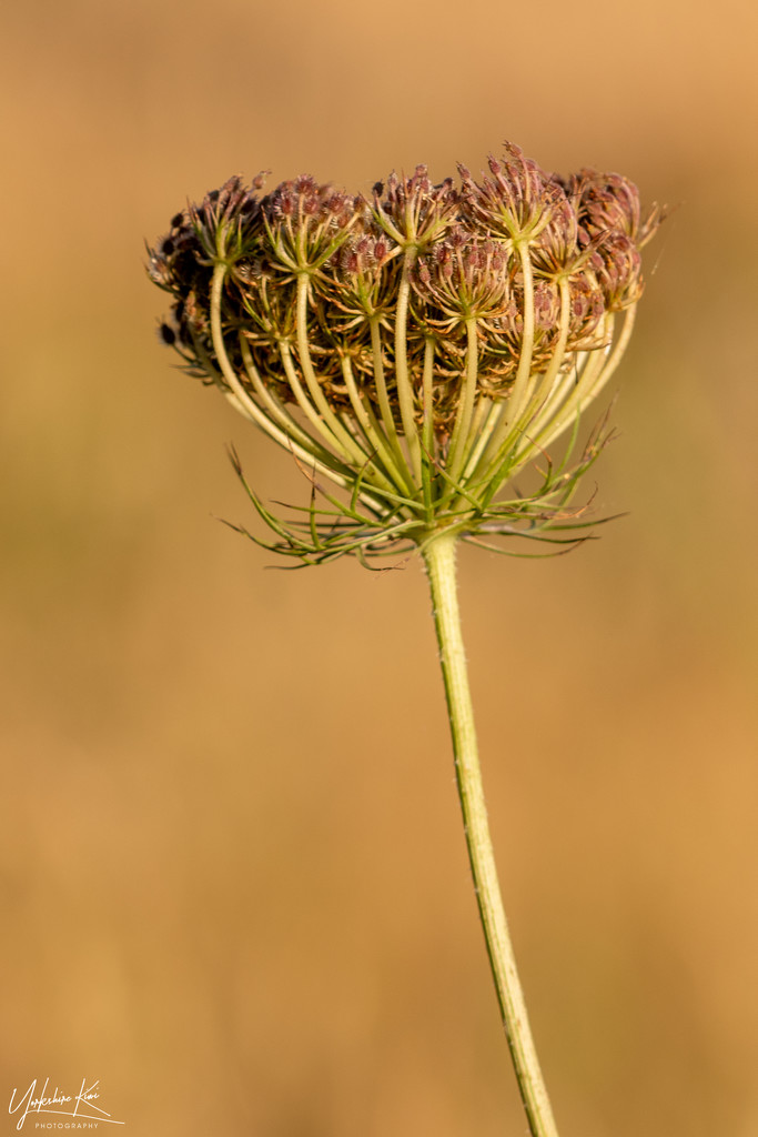 Queen Anne's Lace Seed Head by yorkshirekiwi