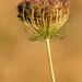 Queen Anne's Lace Seed Head