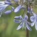 January Series - A month of Agapanthus (20)