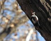 20th Jan 2020 - Woodpecker