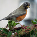 American Robin by seattlite