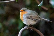 20th Jan 2020 - My little robin
