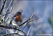 20th Jan 2020 - Singing robin