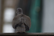 20th Jan 2020 - Shy Dove