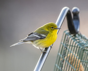 20th Jan 2020 - Yellow Finch