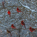Cardinal Bush