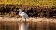 20th Jan 2020 - Egret on the Get-a-Way!