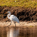 Egret on the Get-a-Way!