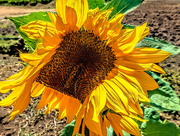 20th Jan 2020 - Sunflower