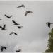 A flock of black Cockatoos birds