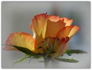 21st Jan 2020 - rose on the table