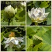 Life Cycle of a Lotus Lily