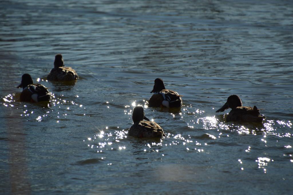 Departing Ducks by bigdad