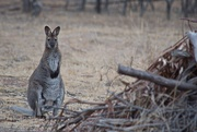 21st Jan 2020 - Wallaby