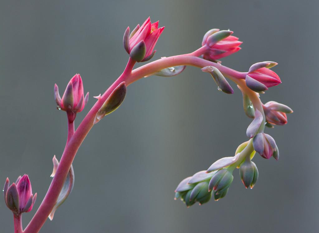 My Echeveria Is Flowering_DSC9815 by merrelyn