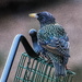 Starling by k9photo