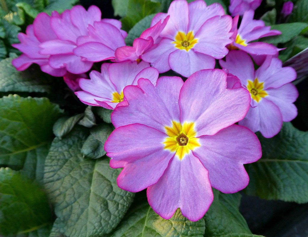Primula  by wendyfrost