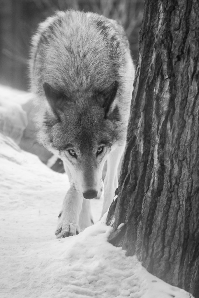 The Slinking Grey Wolf by kph129