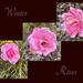 Winter Roses