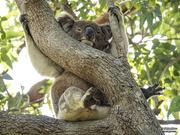 21st Jan 2020 - beat the aussie heat - koala style