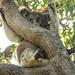 beat the aussie heat - koala style