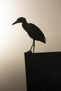 21st Jan 2020 - Yellow-Crowned Night-Heron