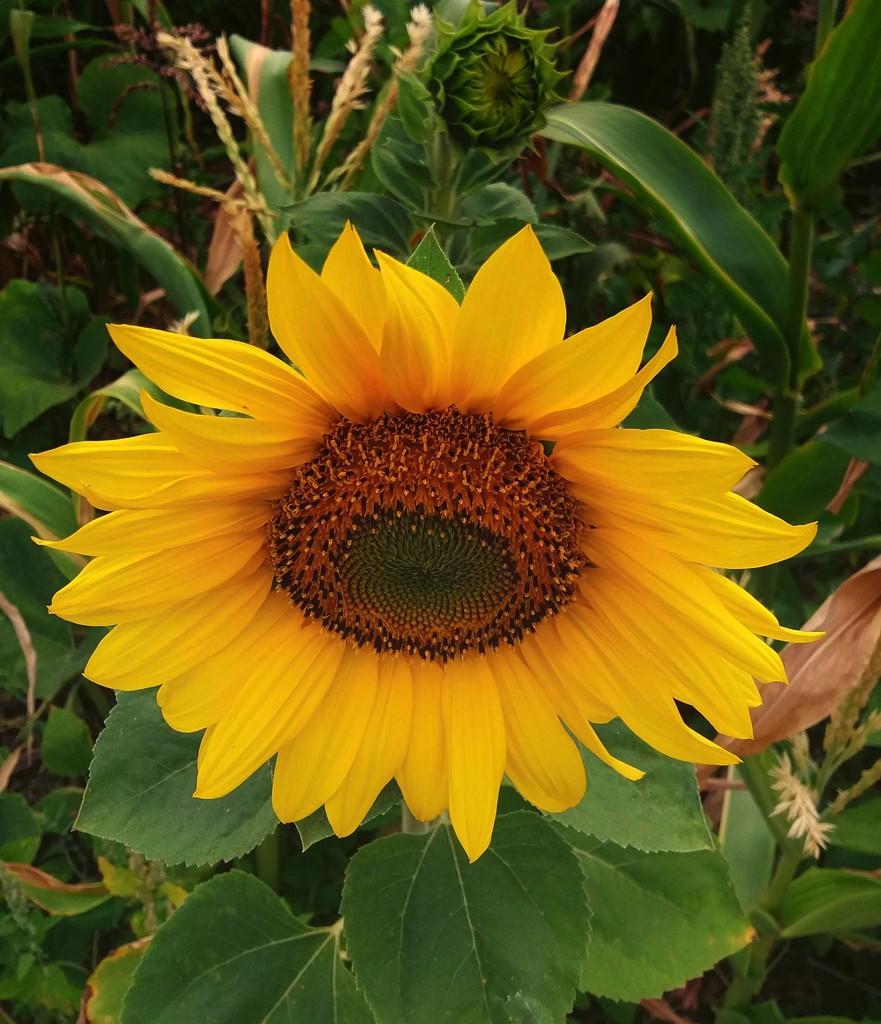 Sunflower by maureenpp
