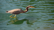 21st Jan 2020 - Tricolored Heron on the Prowl!