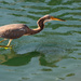 Tricolored Heron on the Prowl!
