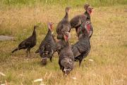 22nd Jan 2020 - Pesky Turkeys