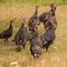 Pesky Turkeys by yorkshirekiwi