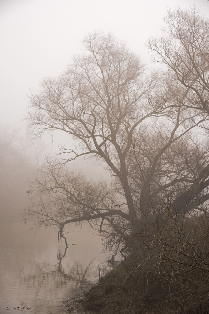 Foggy Trees in Colusa County by laurieewilson