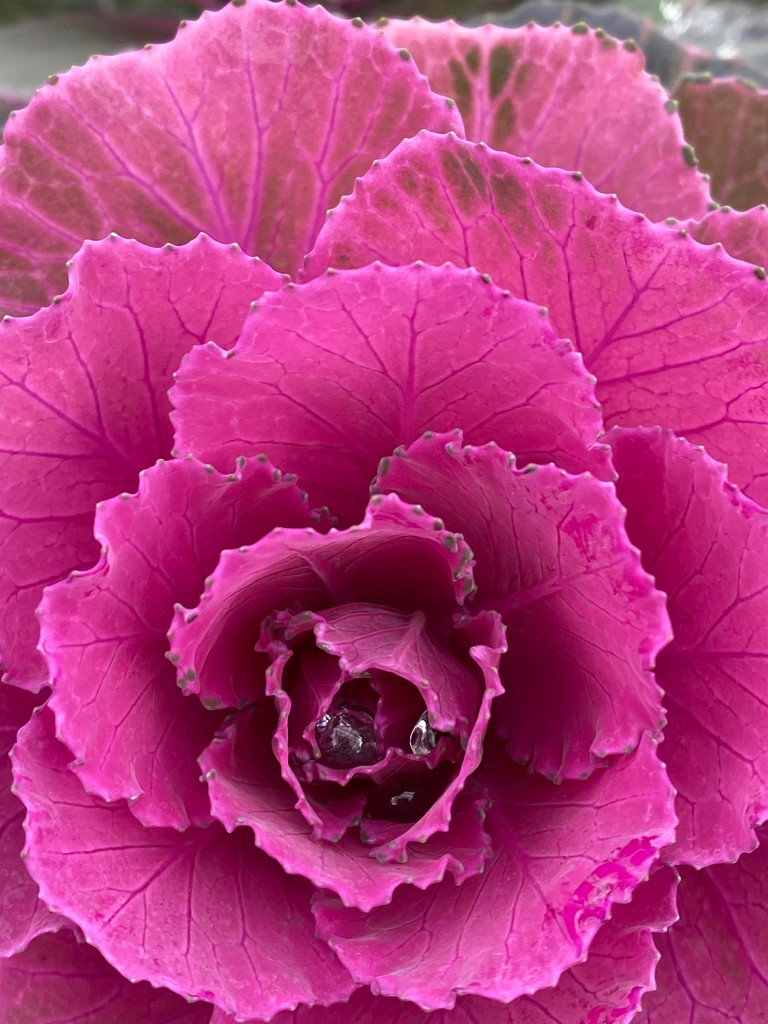 Farmers' Market cabbage by shutterbug49