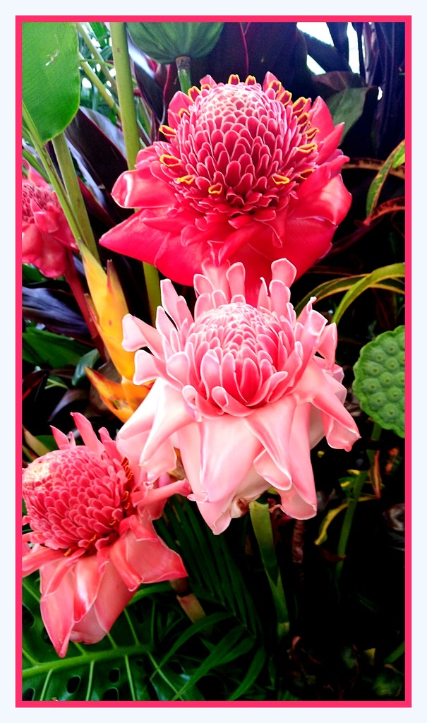 Torch Ginger by 777margo