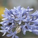 January Series - A month of Agapanthus (22)